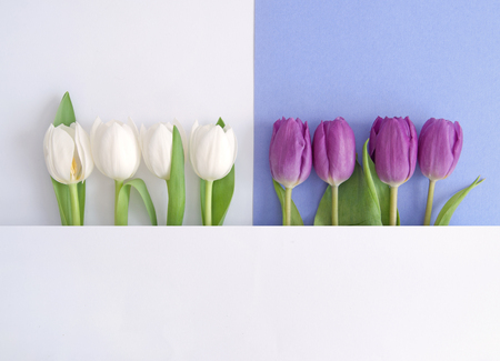 White and purple tulips on a paper background