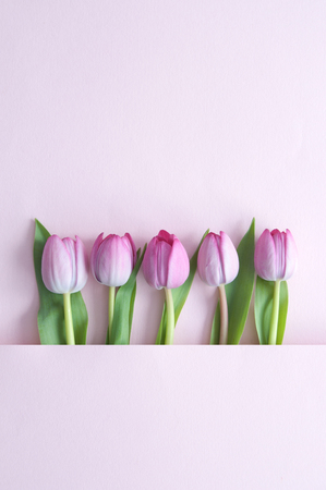 Spring tulips inside a paper fold with space