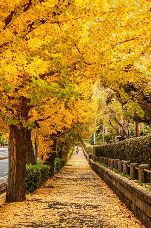 Photo for Tokyo yellow ginkgo tree tunnel near Jingu avenue in autumn. Famous attraction in November and December - Royalty Free Image