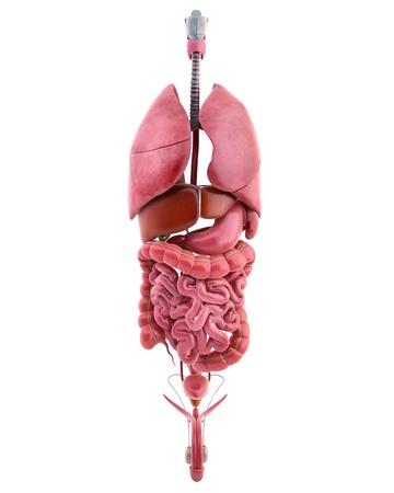 3d illustration of internal organs of male body