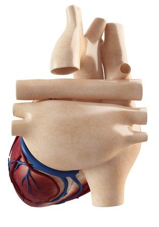 Anatomy of heart interior view