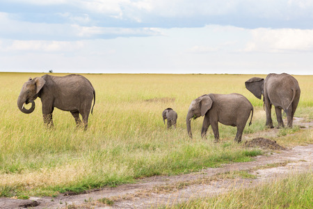 Elephants with a small calf in the savannah