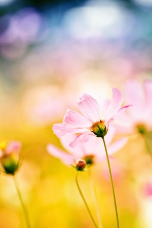 Photo pour pink cosmos flower - image libre de droit