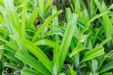 pandan leaf with rain drop