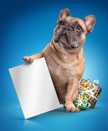French bulldogs with white board and christmas gifts isolated over blue background background