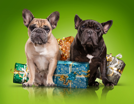 French bulldogs with christmas gifts isolated over green background