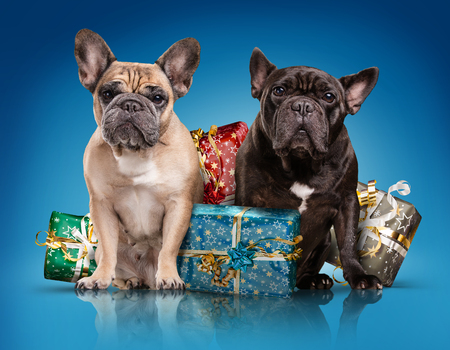 French bulldogs with christmas gifts isolated over blue background