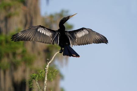 Cormorant in the Bayous of Louisiana