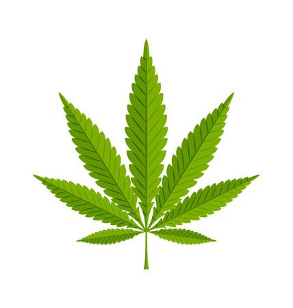 Marijuana hemp (Cannabis sativa or Cannabis indica) leaf on white background