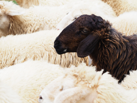 Foto de Close up head of black sheep in the flock of white sheeps - Imagen libre de derechos