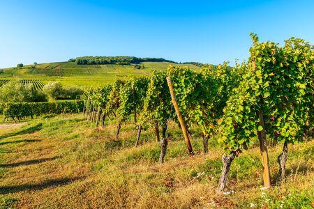 Photo pour Vineyards on Alsatian Wine Route near Riquewihr village, France - image libre de droit