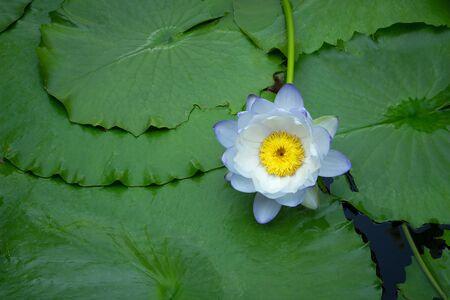 Photo pour Violet and white thai water lily or lotus flower. - image libre de droit