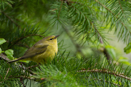 Photo for Searching - Orange-crowned Warbler (Vermivora celata) hunts for food in a Douglas Fir tree in Oregon. - Royalty Free Image