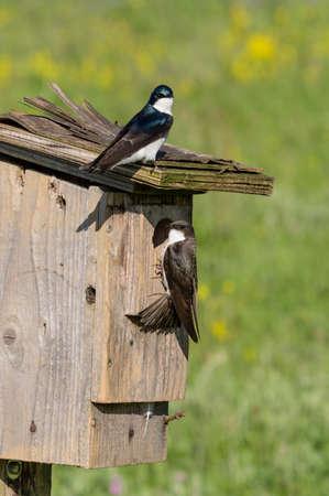 Photo pour Tree Swallows at nest box. - image libre de droit