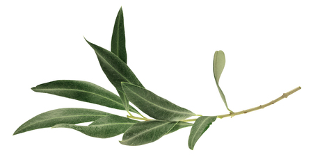 Foto per A photo of a green olive branch, isolated on white - Immagine Royalty Free