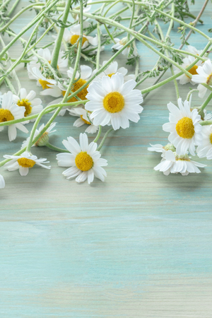 Photo for Chamomile flowers in bloom on a teal blue wooden background with copyspace - Royalty Free Image