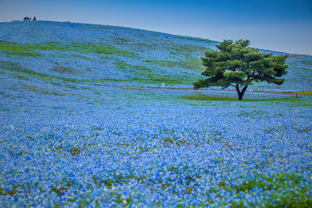 Foto de Mountain, Tree and Nemophila at Hitachi Seaside Park in spring with blue sky at Ibaraki, Japan - Imagen libre de derechos