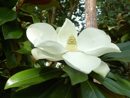 Magnolia Grandiflora aka Bullbay or Southern Magnolia, with fully developed fruit