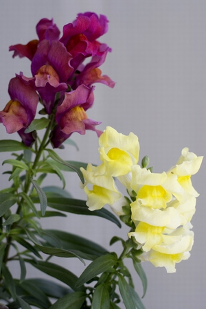 Photo for Details of colorful snapdragon flowers with green leaves - Royalty Free Image