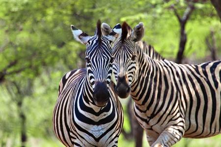 Photo pour Two male zebra, in the natural African habitat - image libre de droit