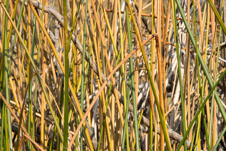 Natural texture. Yellow and green bulrush stems