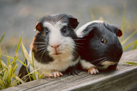Photo pour two cute guinea pigs adorable american tricolored with swirl on head in park eating grasses - image libre de droit