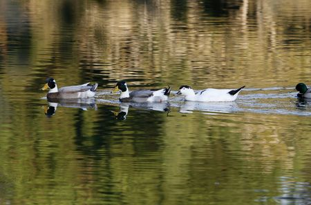 ducks  swimming  in a row on the lake