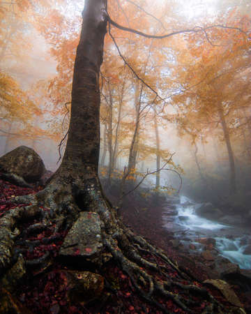 Foto de Ancient tree with impressive roots. Landscape of an autumn forest with fog and fall colors. Beech forest with a beautiful river. Montseny natural park, Barcelona, Catalonia. - Imagen libre de derechos