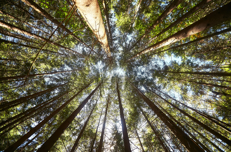 Photo for View of pine forest upward - Royalty Free Image