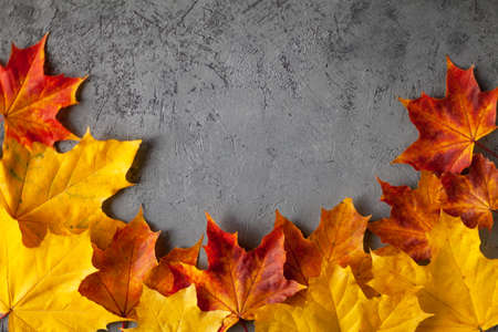 Pattern made of minimal composition of colorful marple fall leaves on gray concrete wall. closeup Frame Autumn concept. Flat lay copy space for text.
