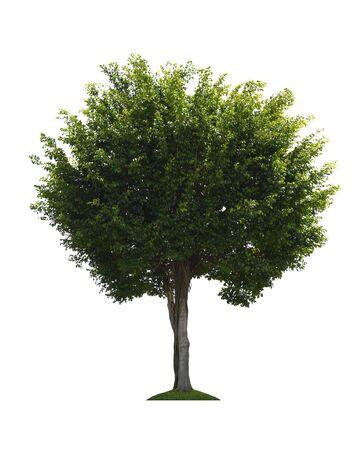 Foto de Siamese rough bush (Streblus asper Lour) tree isolated on white background with clipping path. - Imagen libre de derechos