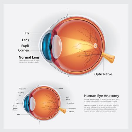 Illustration pour Human Eye Anatomy and Normal Lens Vector Illustration - image libre de droit