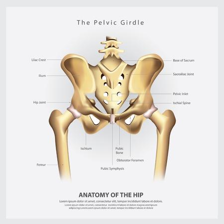 Illustration pour The Pelvic Girdle of Human Hip Bone Anatomy Vector Illustration - image libre de droit