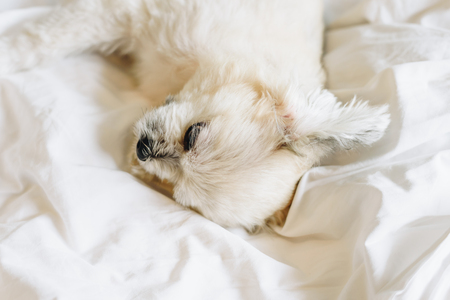 Sweet dog so cute mixed breed with Shih-Tzu, Pomeranian and Poodle sleep lies on a bed of white veil
