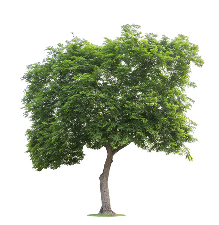 Photo pour The big and green tree isolated on white background. Beautiful and robust trees are growing in the forest, garden or park. - image libre de droit