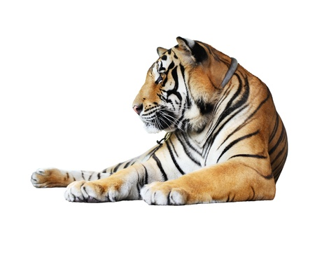 tiger- isolated on white background