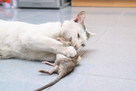 White cat catching and biting mouse rat in the house