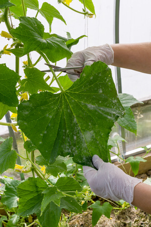 removal of diseased leaves of cucumber in greenhouse