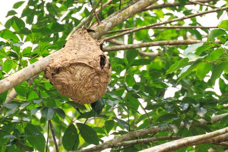 Photo pour Wasp nest on the tree. - image libre de droit