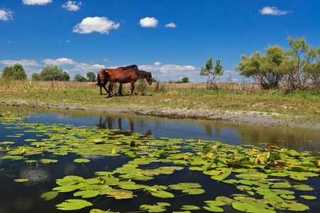 two horses on the edge of a channel of water.Location: Danube Delta, Romania