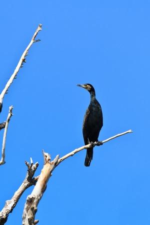 cormorant in a tree on blue sky