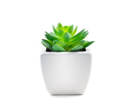 Succulent in Pot isolated on white background