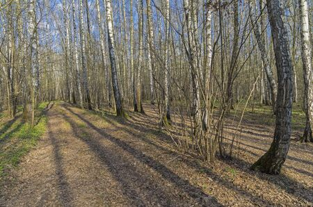 Road in spring birch forest. Sunny day in April.