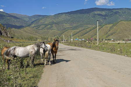 Horses on the roadside. Not far from the village Tungur. Altai, Russia. Sunny summer day.