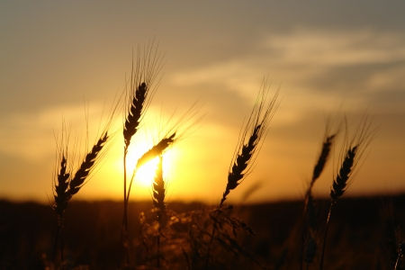 ripening ears of wheat field on the background of the setting sun