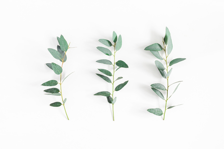 Eucalyptus leaves on white background. Pattern made of eucalyptus branches. Flat lay, top view