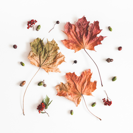 Foto per Autumn composition. Pattern made of dried autumn maple leaves on white background. Flat lay, top view, square - Immagine Royalty Free