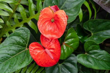 Photo for The red, heart-shaped flowers of Anthuriums is really a spathe or a waxy, modified leaf flaring out from the base. - Royalty Free Image