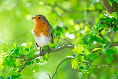 Photo pour The European robin, Erithacus rubecula, known simply as the robin or robin redbreast in the British Isles - image libre de droit