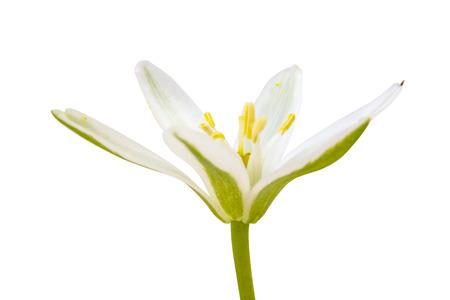 Photo for Spring flowering plant Ornithogalum umbellatum or Bethlehem Star isolated on white background - Royalty Free Image